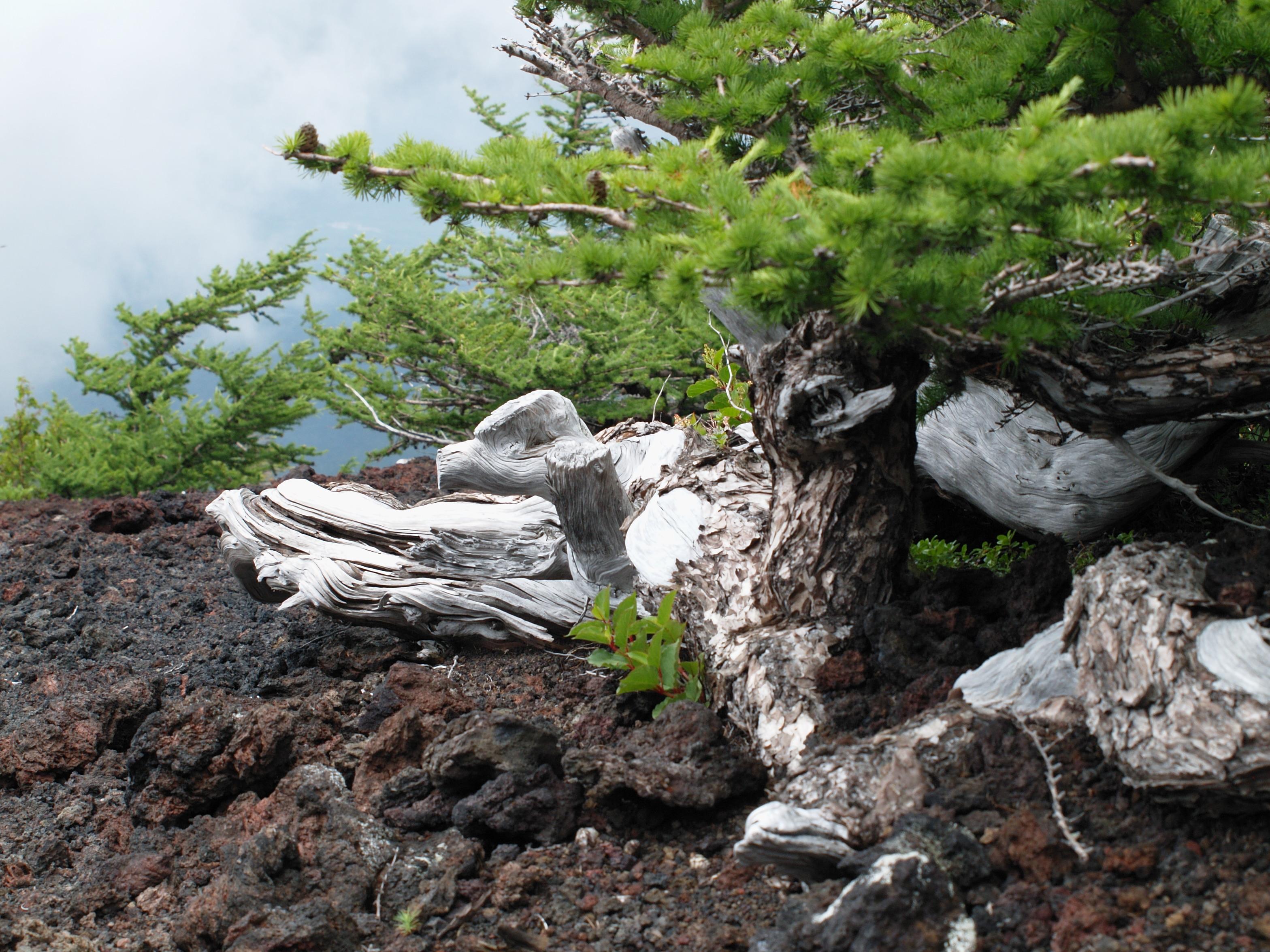 富士山のカラマツ